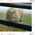 清境農場~青青草原 綿羊秀 拍攝日期: 2011-04-04