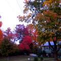 我很有福,因為楓葉紅了,不用去追楓,要賞楓在自家前後院走一圈, 就能讓我心曠神怡. 在此與各位分享