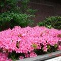 杜鵑花:北海道的杜鵑花,花比葉子還稠密ㄟ