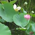 北京北海公園的蓮花,成長與凋零。