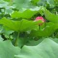 北京北海公園的蓮花,躲給人看。