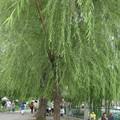 北京北海公園的柳樹,樹幹長得很高,柳葉低低垂下,它「修」得真好!