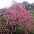 2011在春雨中的我家後面那棵櫻花~~