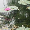 寫了睡蓮的傳說,無形中對睡蓮產生不少愛憐的情懷,...... 這組照片是在上海的世紀公園拍的, 有幾張讓我會聯想到莫內的花園,希望朋友們會喜歡......