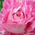 """今年的台北花卉展,分三個展區,其中包含了圓山花博公園, 展出的主題是""""尋找幸福的青鳥""""; 這本相簿是收集了青年公園與圓山公園中的玫瑰花,......"""