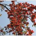 木棉花滿樹鬧紅,春天真的到來了,每年的這個時候,木棉樹枝椏上跳躍著春天的音符,鳴唱的小鳥譜著春天木棉曲,就這樣地舞動著春來的氣息,讓人忍不住地按下快門,記錄了這木棉花鳥映影。 <BR>使用相機是剛拿到手的Canon SX-10。