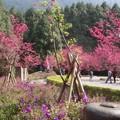 櫻花盛開的季節,在寧靜的山林中,花海遮掩賞櫻人群,美麗的景象盡在眼前.