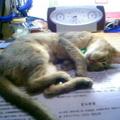 我家的貓咪是阿比西尼亞,優雅而纖細,是個愛撒嬌的小女人^^