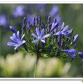 愛情花又稱紫百合,北台灣是愛情花的家鄉,新北市三芝鄉種了七公頃,五、六月是盛開期。(攝於番婆林觀光花園)