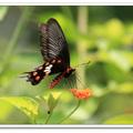華大學有個「蝴蝶園」,成立三年多,復育了一百多種蝴蝶,一流學府裡的美麗翩翩。