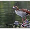 梅花湖畔,飛來一隻埃及雁。  牠一襲艷麗衣裳,嘴尖抹粉紅,腳套粉紅靴,一雙熊貓似的褐色眼圈格外顯目。