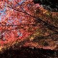 賞楓在台灣,福壽山農場是一定會被點名到的!建國百年的漫天紅火楓影,的確迷人。