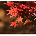 初冬的台中武陵農埸,楓槭紅了、銀杏黃了,落羽松閃著金燦,讓難得到山上的都市人,感受濃烈的色誘^^。