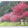 武陵一年一度最美的櫻開!滿山緋紅粉嬌令人迷,冠羽畫眉等山鳥也開心引吭。