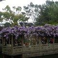 獅子林紫藤