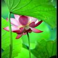山林白玉蘑菇  -小綠攝影-