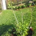 2010年初種了一小棵(約一呎高)無花果,不久入冬,幾度夜裏氣溫降到冰點以下(華氏25-20度),全株枯乾,只剩一塊根,半暴露在土壤外,只望能熬得過。
