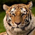 華陀弟子戲五禽曰:虎、鹿、熊、猿、鳥。 虎於肝,鹿於腎,熊於脾,猿於心,鳥於肺。