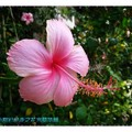 粉色朱槿(扶桑花)-彰化藝術高中(002)