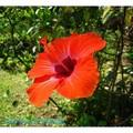 橙色朱槿(扶桑花)-花蓮理想大地渡假飯店(005)