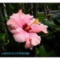 粉色朱槿(扶桑花)-花蓮理想大地渡假飯店(006)