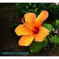 淺橘色朱槿(扶桑花)-沖繩之玉泉洞外(007)