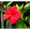 紅色朱槿(扶桑花)-沖繩之首里城內一景(010)