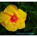 黃色朱槿(扶桑花)-彰化田尾菁芳園(011)