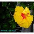 黃色朱槿(扶桑花)-彰化田尾菁芳園(012)