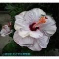 淺紫色朱槿(扶桑花)-彰化白雲寺(015)