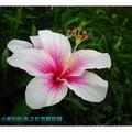 粉色朱槿(扶桑花)-理想大地渡假飯店(017)