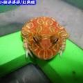 紅角蛙(186)