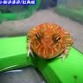 紅角蛙(187)
