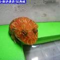 紅角蛙(191)