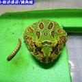 綠角蛙(194)