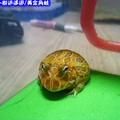 黃金角蛙(199)
