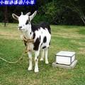 沖繩-山中森林廣場之羊兒(210)