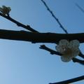 98年春天在我家後院的梅花