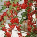 紅紅紅 庭院中 結實如串串葡桃的 狀元紅