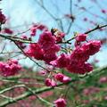 宜蘭的大同三星櫻花很美.