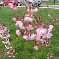 美國櫻花季