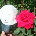 種了十餘年的玫瑰,開出如帽子般碩大的花朶.
