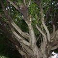 老樹的身影 - 1