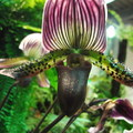 造型如燈籠狀的蘭科  一個通俗的名字 拖鞋蘭
