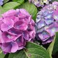 小花瓣群舞的繡球花  顏色千變萬化