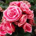 酷似玫瑰的陸蓮花