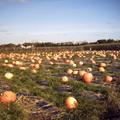 紐約長島南漢普敦路邊的南瓜農場,萬聖節前夕拍賣南瓜