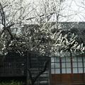 逸仙公園臘月時梅屋與白梅映景。