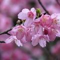 今年櫻花特別美!