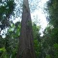 吊橋就是綁在這棵樹上的